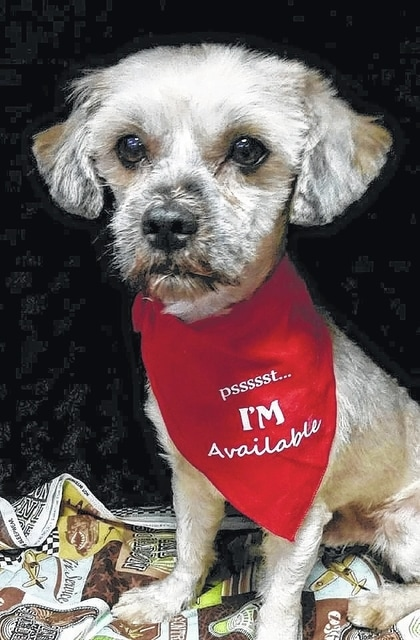 """Doc, age 3-5, is a Lhasa Apso looking for his forever home. He is super sweet and plays well with all the other dogs. He just wants a family of his own. He is well mannered and loves to get all the attention that he can. Doc was heart-worm positive but has been through his treatments. He will be available to a local home only. Doc is already to meet his """"fur ever family!"""" Doc will be fixed, up to date on vaccinations, heart-worm tested, on flea and heart-worm preventative, routine blood work, groomed, free 30 days of insurance and ready for their new home. To adopt Doc or any of our other furry friends looking for homes please visit www.sassrescue.com and complete an application. Come meet Doc and a few of his friends at Bow to Wow Grooming Shop 415 S. Main St in Urbana on Saturdays from Noon until 4:00pm. Let SASS Rescue help you find your perfect """"Puppy Love Match."""" SASS Rescue is a 501 c3 Non Profit that is ran strictly on donations and volunteers. We have no paid employees and we are always looking for volunteers. If you would like to help save the life of a shelter dog please contact SASS Rescue 937-303-SASS (7277) or email adopt@sassrescue.com, you can also find us on Facebook SASS Shih Tzu Rescue and Instagram @sassrescue."""