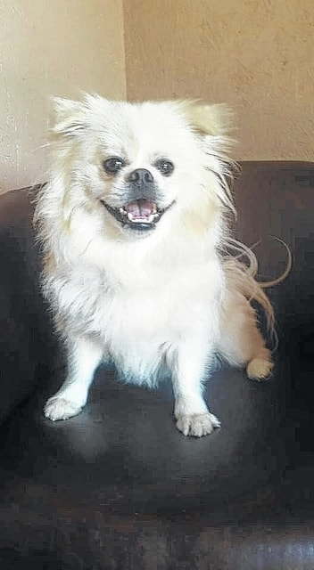 """Bender, a Prince Charming of a fellow, is a 1-year-old Pekingese/Pomeranian looking for a home! Bender is such a sweet and handsome guy. He gets along great with other dogs, cats and even children. He loves to play and also relax. Bender is everything you could ask for in a dog. Bender will be fixed, up to date on vaccinations, heart-worm tested, on flea and heart-worm preventative, routine blood work, groomed, free 30 days of insurance and ready for his new home. To adopt Bender or any of our other furry friends looking for homes please visit www.sassrescue.com and complete an application. Come meet Bender and a few of his friends at Bow to Wow Grooming Shop, 415 S. Main St. in Urbana on Saturdays from noon to 4 p.m. Let SASS Rescue help you find your perfect """"Puppy Love Match."""" SASS Rescue is a 501 c3 Non Profit run strictly on donations and volunteers. We have no paid employees and we are always looking for volunteers. If you would like to help save the life of a shelter dog please contact SASS Rescue, 937-303-SASS (7277) or email adopt@sassrescue.com; you can also find us on Facebook SASS Shih Tzu Rescue and Instagram @sassrescue"""