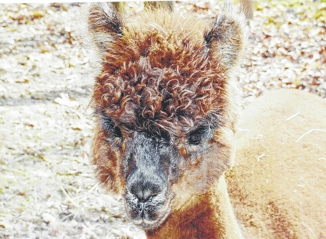 A baby alpaca. Alpacas will be on display at the Champaign County Historical Society Oktoberfest, Sunday, Oct. 4, at the historical society on East Lawn Avenue.