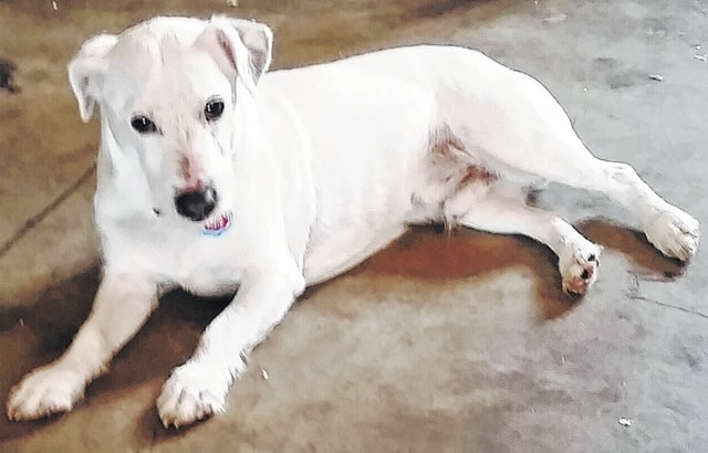 "Hi! My name is Jack. I am a Jack Russell Terrier boy. I'm 5 1/2 years old and weigh about 30 pounds. I came from a wonderful home, but it got a little too crowded. I am a good boy and am looking for a quiet home (adults only) where I can be your one-and-only dog. I have good energy and love to play, but not like those crazy puppies. I am a more mature kind of boy and need my nap time, too. Won't you come and see me? I really like my friends here, but really want a forever home of my own with people who can love on me. Call: 937-869-8090. Barely Used Pets Inc. is a non-profit dog rescue based in Urbana, Ohio. We provide an alternative solution for the unwanted, abandoned, stray and relinquished animals of our county as well as surrounding counties. Every dog that comes here to stay with us is fully vetted, socialized and given the love and care they so deserve - until they find their forever homes! Please visit our website: www.barelyusedpets.com. Also, ""like"" us on Facebook (be sure to put a space between the words ""Barely Used Pets Rescue"" to get the correct page). Barely Used Pets is located at 2790 E. U.S. Route 36 in Urbana, Ohio. You can give us a call at 937-869-8090. We are open Sundays 1-4 p.m., Wednesdays and Thursdays 10 a.m. to 6 p.m., Fridays 10 a.m. to 5 p.m. and other days by appointment. We would like to have an in-house clinic to perform all of our surgeries and health checks. We are hoping to provide low cost services to the public as well in the future. Any donations to purchase our medical equipment would be so appreciated! Please take a look at our website for other ideas for donations. Thanks so much for considering Jack and helping us help these little ones find their forever homes!"