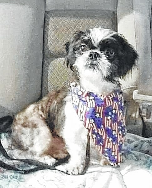 "Lincoln is a 3- to 4-year-old shihtzu looking for a home. Lincoln loves to play with you and other dogs. He isn't a big fan of cats. He gets along great with other dogs. He loves dog beds and to run in the back yard. Lincoln would be best in a home with older kids (12+). Lincoln will be fixed, up to date on vaccinations, heart-worm tested, on flea and heart-worm preventative, routine blood work, groomed, free 30 days of insurance and ready for his new home. To adopt Lincoln or any of our other furry friends looking for homes please visit www.sassrescue.com and complete an application. Come meet Lincoln and a few of his friends at Bow to Wow Grooming Shop 415 S. Main St in Urbana on Saturdays from Noon until 4:00pm. Let SASS Rescue help you find your perfect ""Puppy Love Match."" SASS Rescue is a 501 c3 Non Profit run strictly on donations and volunteers. We have no paid employees and we are always looking for volunteers. If you would like to help save the life of a shelter dog please contact SASS Rescue 937-303-SASS (7277) or email adopt@sassrescue.com, you can also find us on Facebook SASS Shih Tzu Rescue and Instagram @sassrescue."