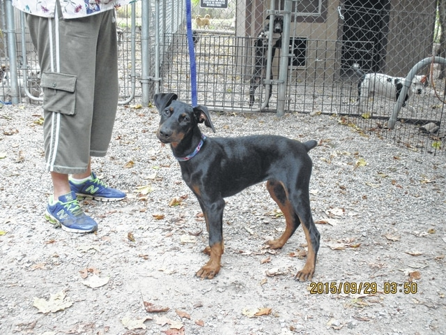 A 5-month-old baby boy Doberman recently was surrendered and will be neutered, fully vaccinated, wormed, and micro chipped before placing. He is an energetic puppy, so very loving, and smart and will be a great family member in the right home. Please call His Hands Extended Sanctuary/Humane Society to inquire and be approved to adopt: 937-663-0015.