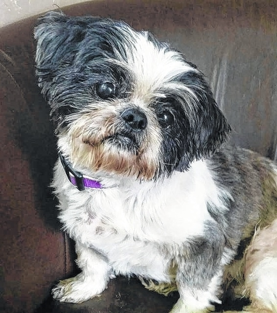 """Meet Howie! Howie is 1- to 3-year-old Shih-Tzu looking for his forever home. Howie loves to be outside and adventure in the yard. He does great in a home environment. He will scratch at the door when he has to go outside and does wonderfully when he is alone. He loves his dog beds and to also be able to sleep with you at night. Howie will sit and relax on the couch with you also. Howie gets along with anyone he meets. Howie is neutered, up to date on vaccinations, heartworm tests, basic blood-work and flea and heartworm preventative, groomed and ready for his new home. To adopt Howie or any of our other furry friends looking for homes please visit www.sassrescue.com to complete an application. Come meet Howie and a few of his friends at Bow to Wow Grooming Shop, 415 S. Main St. in Urbana, noon-4 p.m. on Saturdays. Let SASS Rescue help you find your perfect """"Puppy Love Match."""" SASS Rescue is a 501 c3 Non Profit run strictly on donations and volunteers. We have no paid employees and we are always looking for volunteers. If you would like to help save the life of a shelter dog please contact SASS Rescue 937-303-SASS (7277) or email adopt@sassrescue.com, you can also find us on Facebook SASS Shih Tzu Rescue and Instagram @sassrescue."""