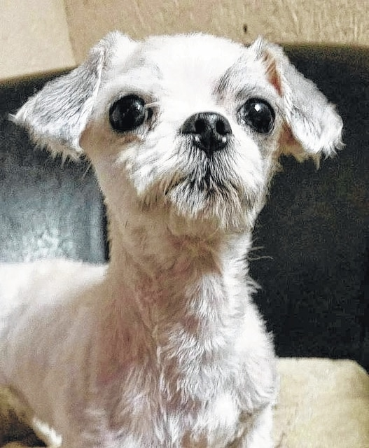 """Sassy and Sweet is Webster, a 3- to 5-year-old Maltese/Shih-Tzu mix who weighs under 10 pounds. He loves to be active and playing. He loves to play with other dogs and doesn't have a problem with cats. He loves his dog beds and he loves to be with you and just to cuddle and relax. We are not sure how he is around kids as he hasn't been around any, but we are sure he would do just fine. Webster will be fixed, up to date on vaccinations, heart-worm tested, on flea and heart-worm preventative, routine blood work, groomed, free 30 days of insurance and ready for his new home. To adopt Webster or any of our other furry friends looking for homes, please visit www.sassrescue.com and complete an application. Come meet Webster and a few of his friends at Bow to Wow Grooming Shop, 415 S. Main St. in Urbana on Saturdays from noon to 4 p.m. Let SASS Rescue help you find your perfect """"Puppy Love Match."""" SASS Rescue is a 501 c3 Non Profit run strictly on donations and volunteers. We have no paid employees and we are always looking for volunteers. If you would like to help save the life of a shelter dog please contact SASS Rescue 937-303-SASS (7277) or email adopt@sassrescue.com, you can also find us on Facebook SASS Shih Tzu Rescue and Instagram @sassrescue."""