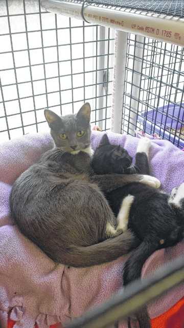 This is Molly and her last kitten, Worf ( yes, named after Star Trek). Molly came to us in July pregnant and had 5 kittens all adopted and Molly and Worf are the last of her family needing to find forever homes! They both are up to date on all their shots and Feline Leukemia Negative. Molly is due to be spayed at our next spay and neuter clinic. They would be a great additions to any home alone or together. They play and get along very well, although Worf wishes his mother wouldn't clean him so much. Come see Molly and Worf at PAWS Animal Shelter, W. St. Rt. 36, Urbana.