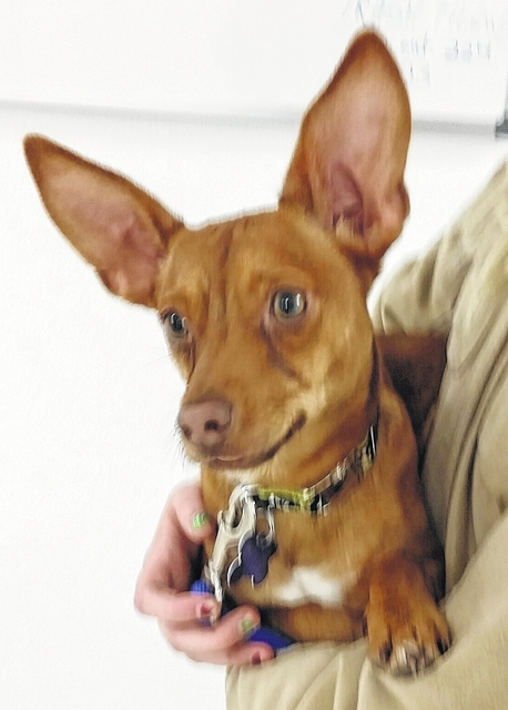 """Hi. My name is Tyson. I am what they call a Chi-Weenie boy. I am about 9 months old and weigh in at 11-1/2 pounds. I got to Barely Used Pets the week before Christmas. I love all of my buddies here, but it's time for me to blow this Popsicle stand already! We have great toys here and everybody comes in and tosses them for me to run and bring back. I love that game. I also am a big lap dog boy and really like to just lie in your lap and snuggle. If you come and see me maybe we can do both of those things. Let's do that fetch thing for a while, then maybe I can take a little nap with you. I am such a good boy and I have huge ears that I can pick up signals from way far away. You could even add """"Radar"""" to my name and I'd be good with that. All joking aside, I want a family of my own that I can love and who will love me, too. I don't ask for much, just lots of toys and lots of love. Please come and see me and please, please, please let me come home with you and be your lap dog boy. Please visit our website. www.barelyusedpets.com. Also, like us on Facebook at Barely Used Pets Rescue (put spaces between the words). Barely Used Pets is at our new location of 844 Jackson Hill Road in Urbana. You can give us a call at 937-869-8090. We are open Sunday 1-4 p.m., Wednesdays and Thursdays 10 a.m.-6 p.m., Fridays 10 a.m. - 5 p.m., and other days by appointment. We can always use donations and they are all of those basic supplies that we use so quickly. We need paper towels, Clorox, Dawn dish soap (original), and laundry soap. We can also use the elevated pet beds by Kuranda (go to kuranda.com). Any donations are always appreciated. Please take a look at our website for other ideas for donations. Thanks so much for considering me and helping Barely Used Pets help me and my friends find our forever homes."""