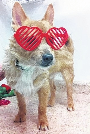 Look at me! They made me put on these heart sunglasses, so now I just see everyone through stripes. But it's alright because they kept telling each other how cute I am sporting these things and fussing over me (I like that). I am a terrier mix boy and about 2 years old. My person had to bring me here due to allergies of someone in the home becoming too much. They tried everything, but had to make this difficult decision to bring me and Tinkerbell in to help us find new forever homes. Tinkerbell has already found her forever home, but I am still waiting for the right family to come along for me. Won't you please come and see me? I was grieving for Tinkerbell (you see, I was her protector), but I am doing better now. They have me out running with the other little dogs in the playground, so it is helping me. But what I really need is a family that will fuss over me, play with me…and most of all, love me to bits! Please think about adding me to your family. I will love you back tenfold! I promise you won't regret bringing me home. I'll even ask them to send these cool shades with me! Please visit our website www.barelyusedpets.com. Also, like us on Facebook at Barely Used Pets Rescue (put spaces between the words). Barely Used Pets is at our new location of 844 Jackson Hill Road in Urbana, Ohio. You can give us a call at 937-869-8090. We are open Sunday 1-4 p.m., Wednesdays and Thursdays 10 a.m.-6 p.m., Fridays 10 a.m.-5 p.m., and other days by appointment. We can always use donations and they are all of those basic supplies that we use so quickly. We need paper towels, Clorox, Dawn dish soap (original), and laundry soap. We can also use the elevated pet beds by Kuranda (go to kuranda.com). Any donations are always appreciated. Please take a look at our website for other ideas for donations. Thanks so much for considering me and helping Barely Used Pets help me and my friends find our forever homes!