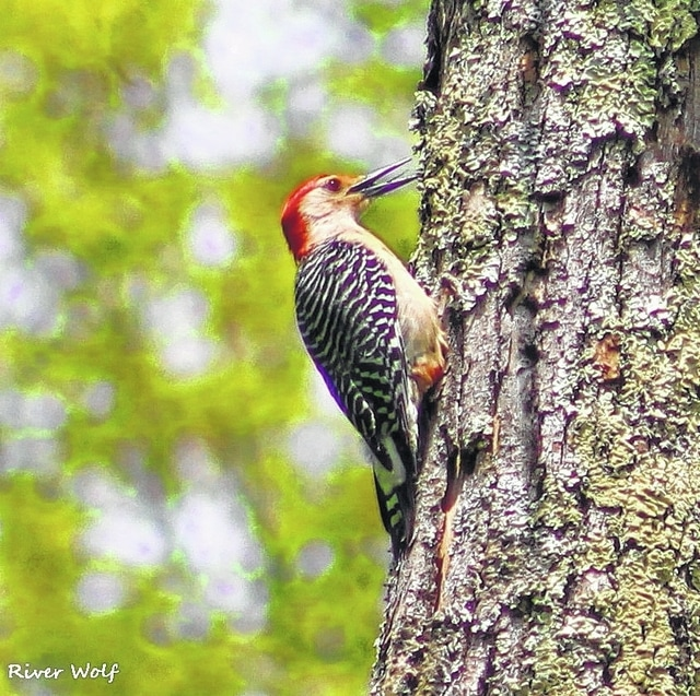 This photo of a Red-Bellied Woodpecker was taken by River Wolf.