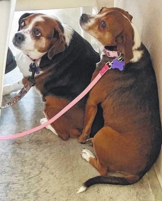 """Hi! """"I'm Dixie"""" and """"I'm Pixie."""" We are Puggle girls. We are about 3 years old. Dixie : """"Look, I know I'm a little bigger than my friend here. But I'm not fat, I am just fluffy. I just think I have a little more to love on. I'm kind of shy and I stay back a little when Pixie runs up to people and talks with them. It takes a little bit for me to come out of my shell, but I love to be loved on."""" Pixie: """"My friend is shy, but she is so sweet. I am more outgoing. I will run up to you and ask for lots of kisses and rubs. Dixie stays behind me until she knows it's OK. I usually tell her to come on over, but when she is with me everything is alright. I love my friend Dixie and we need each other. So please open your home and your heart for us. I promise that if you take us both together that I'll squeeze myself real close to Dixie so it will be kind of like have one big dog. We are a two-for-one love bug deal! I was told people want to know what we weigh. Really? Do not let Dixie know I told you, but she weighs about 35 lbs. and I am about 25 lbs. She is sensitive about it, so just keep that secret for now."""" Pixie says """"We were a little shy in our picture…it was our first time on our leashes."""" These girls are beyond sweet and they need a loving family to go home to. Won't you please come and see them? People say they pass Dixie by because she just stays way back while Pixie comes to them. Please understand that Dixie is just scared and shy. Please don't let that make you pass her by again. They watch as all of the others who look more """"ready to go home"""" get their new homes and each time the people leave they say """"maybe tomorrow."""" Let's make tomorrow today and give these girls the love they so much deserve. Open your heart for these love bugs. With Pixie's help, Miss Dixie will give you more love than you can ever imagine. Please visit our website: www.barelyusedpets.com. Also, like us on Facebook at Barely Used Pets Rescue (put spaces between the words). Barely Used Pets i"""