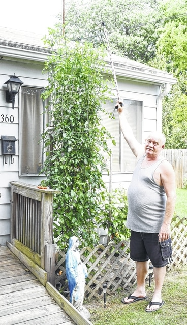 Urbana resident Larry Morgan shows his estimated 10-foot cherry tomato plant at his home on Mosgrove Street. Morgan said it just takes a bit of fertilizer to do the trick.