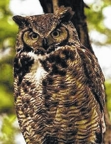 Great Horned Owls, such as this one, are commonly heard at Cedar Bog. Participants may get a chance to see this and other owls at the Nov. 4 Owl Prowl Walk.