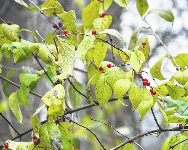 Once a woodlot is harvested, it is important to keep out any invasive species such as bush honeysuckle (pictured) or multiflora rose. These will proliferate with the added light from opening up the canopy and make it difficult to enjoy the area. Reproduction and spread is by both sprouting and seeds, which are disseminated primarily by birds. While honeysuckle fruit is abundant and rich in carbohydrates it lacks the high-fat and nutrient-rich content that most of Ohio native plants provide migrating birds. Wherever invasive honeysuckle shrubs displace the native forest species there is a huge potential impact on these migrating bird populations due to the reduction in availability of native food sources.
