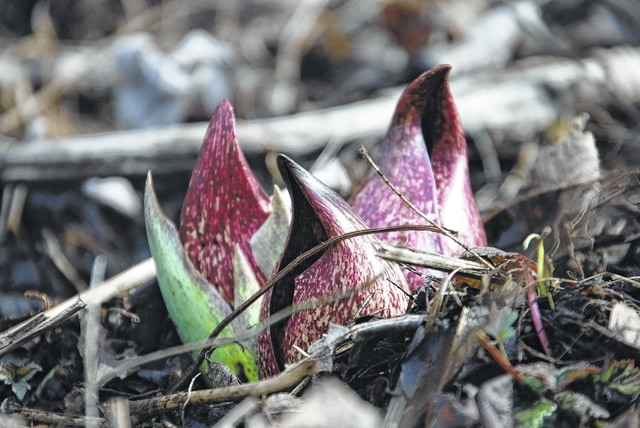 The annual Skunk Cabbage Walk will be Sunday, Feb. 26, at 1 p.m. and tours will be led by Site Manager Tracy Bleim and Certified Volunteer Naturalist Jim Lemon. Don't miss the first bloom of the year.