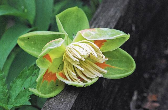 This tulip tree flower is one example of flora beginning to show itself at Cedar Bog Nature Preserve.