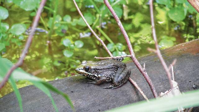 Visit Cedar Bog for a May 13 event to learn how to entice outdoor critters such as this gray tree frog to your backyard habitat.
