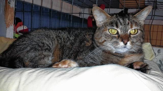 Sandy, a Tortie kitten, is friendly and playful and waiting for her special someone to walk through the doors of PAWS Animal Shelter.
