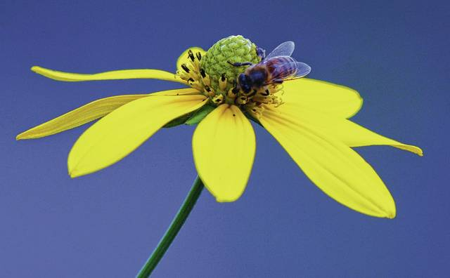 Join Cedar Bog naturalists on a Mellow Yellow Walk on the boardwalk. Pictured is a Wingstem flower (Actinomeris alternifolia) at The Bog.