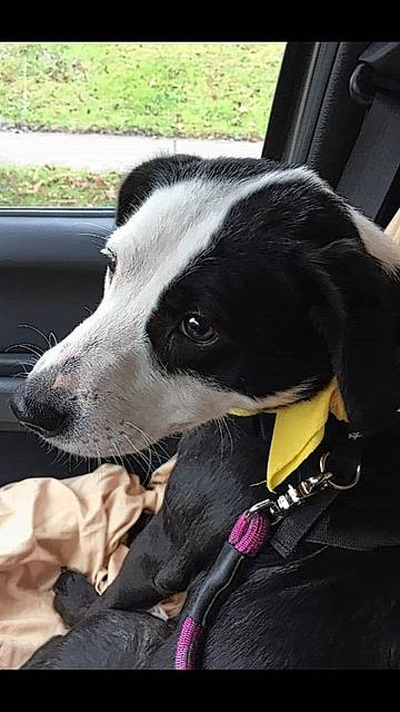 Aptly named Panda is a Lab mix pup waiting for his owner to walk through the doors of PAWS Animal Shelter.