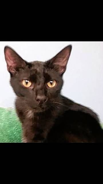 Mitten-pawed Charcoal is one of the adorable kittens available for adoption at PAWS Animal Shelter.