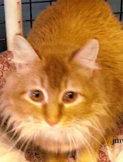 Mango is a sweet girl awaiting purr-fect owners to adopt her from PAWS Animal Shelter.