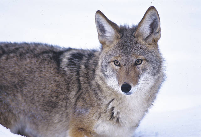 Sportsmen and women interested in pursuing coyotes are encouraged to attend a free, informational workshop on Saturday, Feb. 3 in Xenia, according to the Ohio Department of Natural Resources (ODNR).