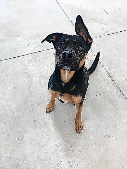 Lovable Duke is a 3-year-old Shepherd mix ready to be adopted from the Champaign County Animal Welfare League.