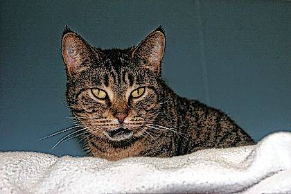 Looking for a lap cat? Two-year-old Dixie is waiting for you at PAWS Animal Shelter.
