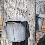 Maple syrup on tap at Indian Lake
