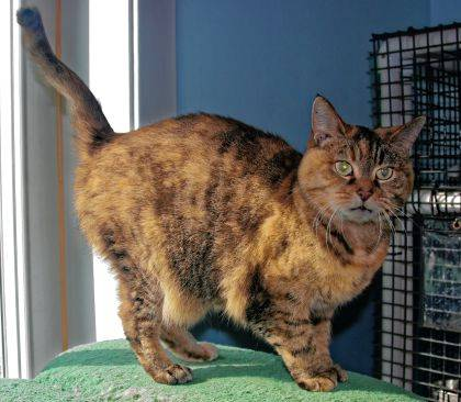 Sweet Kit Kat, age 6, is waiting for a family - or person - to visit PAWS Animal Shelter and choose her to take home.