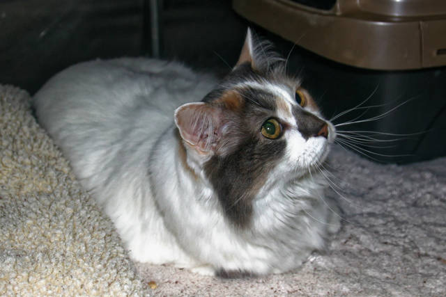Tahlula is a 7-year-old cat that loves to be brushed and loved on. See her at PAWS Animal Shelter.