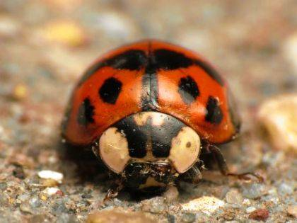 Come warm weather, it's a good time to protect your home from fall-invading, winter-squatting insects, such as the multicolored Asian lady beetle shown here.