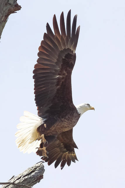 This bald eagle was spotted and photographed between West Liberty and Springhills on Sunday, April 8.