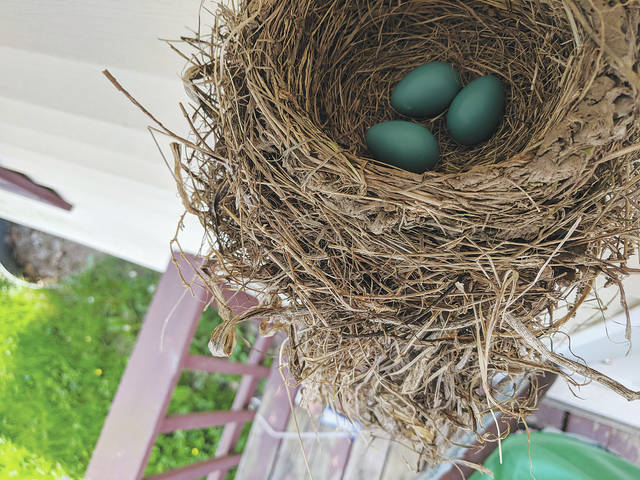 A robin took up residence on a porch light on East Lawn Avenue this past weekend. The mother-to-be laid a trio of eggs, with incubation beginning on Mother's Day.
