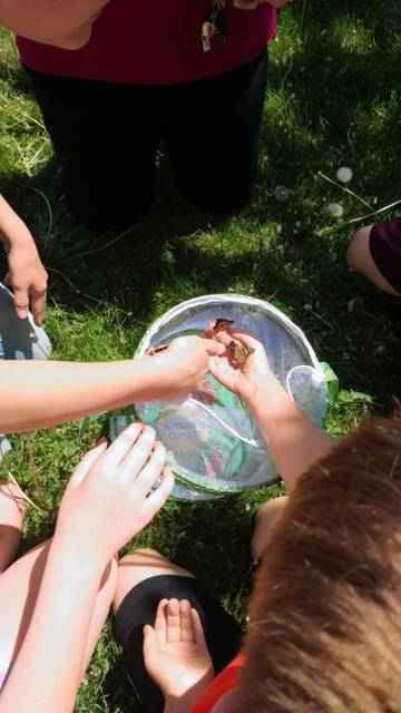 Last week elementary schools in Champaign County began releasing Painted Lady butterflies they raised from larvae in classrooms. The Master Gardener Volunteers provide larvae each year to every 2nd grade class in the county through sponsorships from local businesses.