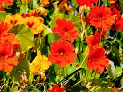 Edible flowers such as nasturtium are a good option for an edible landscape.