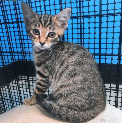 Brown Tabby #2 at the Champaign County Animal Welfare League is 3 months old and ready for adoption. A social being, she likes people and her fellow cats.