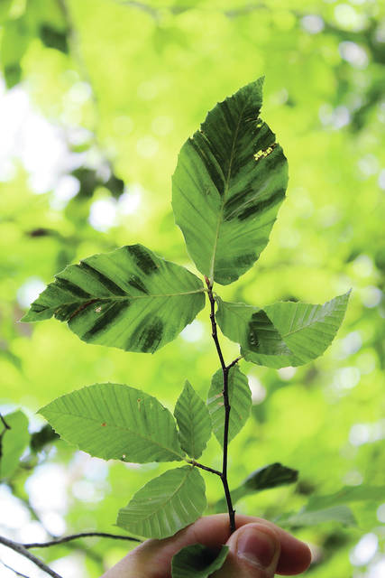 Symptoms of BLD include dark striping or banding on otherwise healthy-looking leaves; shriveled, discolored or deformed leaves; and reduced leaf and bud production.
