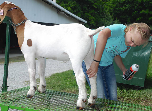 Emmalee Cecil prepares her goat for a show during the Champaign County Fair on Tuesday. Wednesday is Youth Day at the fair with special activities at the grandstand for children and teens in the afternoon. The Pizza Eating contest will be held at 4 p.m. at the grandstand.