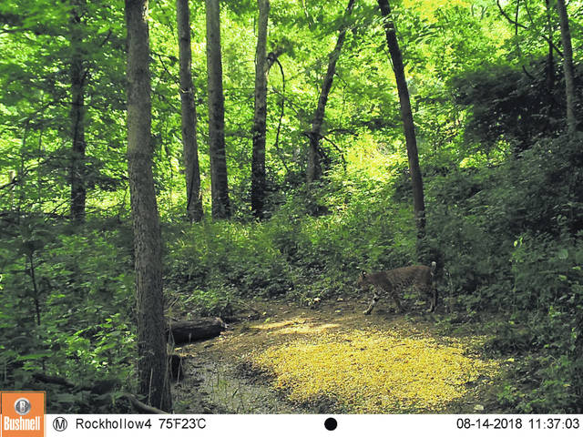 Wildlife Officer Jeff Tipton recently received two reports of bobcat sightings in Champaign County, including the one captured in this photo. Bobcat is in the lower right quadrant of the frame.