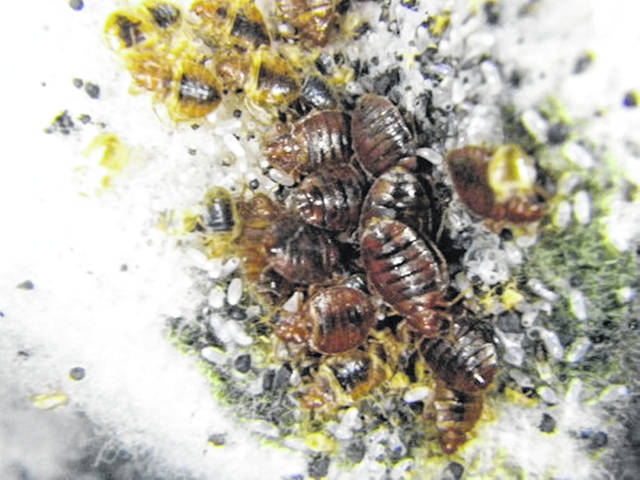 Osu App Helps Id And Control Bed Bugs Urbana Daily Citizen